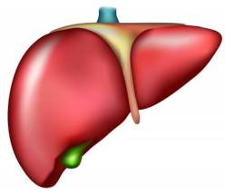 Human Liver Illustration