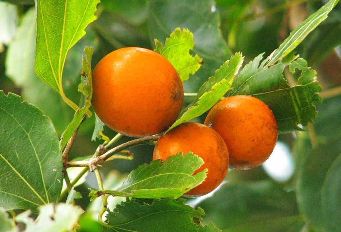Nux Vomica Herbal Remedy Dangers & Precautions – General Health ...